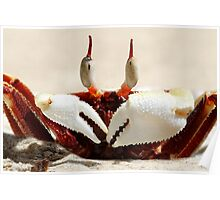 Stalk-eyed ghost crab - Ocypode ceratophthalma Poster