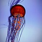 Jelly in blue by Susana Weber