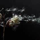 Milkweed 7 by RichWR