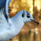 Seagull by kibishipaul