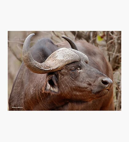 IN PROFILE - The Buffalo - Syncerus caffer  Photographic Print