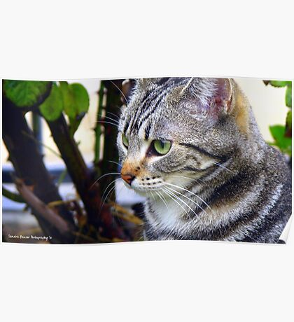 """Honey"" American Shorthair Poster"