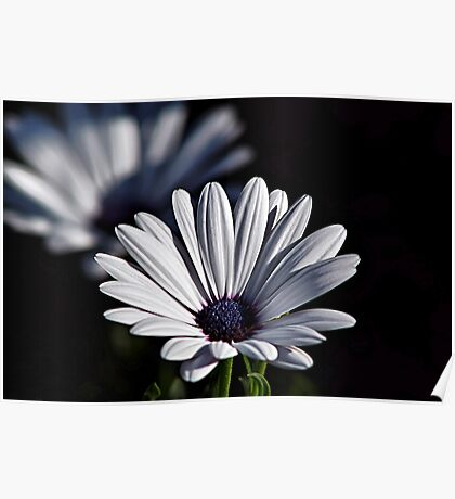 White African Daisies Poster