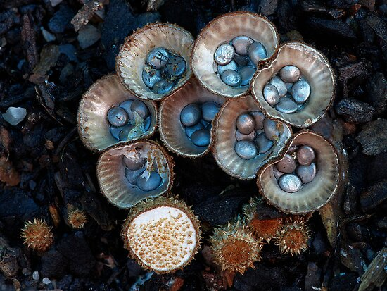 The birdnest fungi 2 by Steve Axford