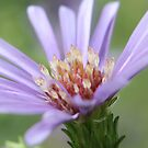 Purple Daisy by Susan Brown