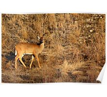 White Tailed Doe Poster
