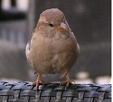 House Sparrow  by patjila