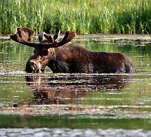 Aquatic Moose by Martin Smart