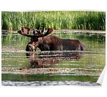 Aquatic Moose Poster