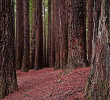 The Redwoods  by John  Kowalski