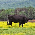 Bull in the Meadow in Arkansas by Susan Russell