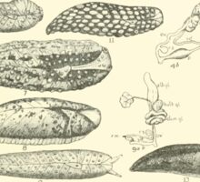 Manual of the New Zealand Mollusca by Henry Sutter 1915 0133 Delos Athoracophorus Sticker