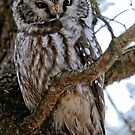 Boreal Owl - Amherst Island, Ontario - 3 by Michael Cummings
