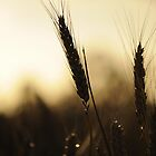 Wheat at sunrise by Laura Mitchell