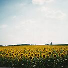 Sea of sunflowers, Loire Valley, France by BronReid