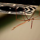 Stick Insect by Maryanne Lawrence