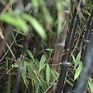 Bamboo by Hughsey