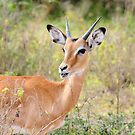 Young Male Impala - Lake Mburo National Park, Uganda by Derek McMorrine