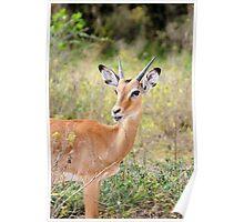 Young Male Impala - Lake Mburo National Park, Uganda Poster