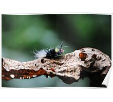 Red Head Caterpillar - Bwindi Impenatrable National Park , Uganda Poster