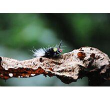 Red Head Caterpillar - Bwindi Impenatrable National Park , Uganda Photographic Print