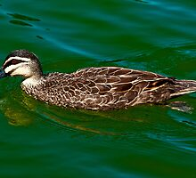 Wading Duck  by Tom Newman
