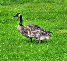 Canada Goose and Gosling in the Rain by Skye Ryan-Evans