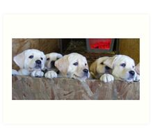 6 golden lab pups Art Print