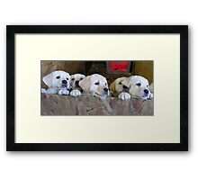 6 golden lab pups Framed Print