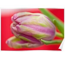 First Tulip of the year, , , , , , , , , , , , , Poster