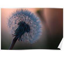 Backlit Dandelion Poster