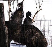 The Emus ~ Dressed For Winter In East Eden, NY by artwhiz47