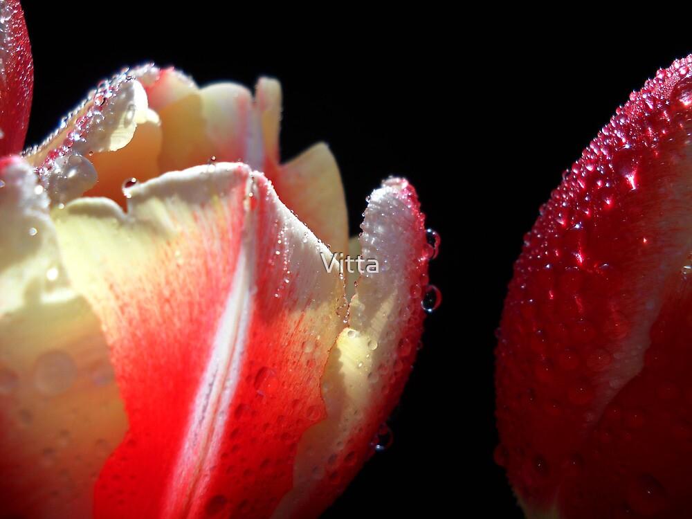 Tulips Macro. by Vitta