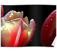 Tulips Macro. Poster