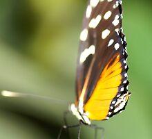 Butterfly by Nik Watt