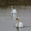 Swans - 23 jan by DutchLumix