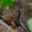 Mum, Dad and Baby robin in nest by ElsT