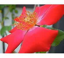 Single Rose. Photographic Print