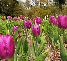 Tulip Time by ColinBoylett