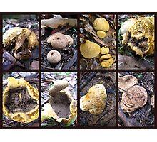 Puffball Fungi Photographic Print