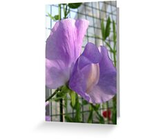 Sweet Pea Macro Greeting Card
