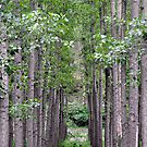Poplar Plantation - St Albans NSW by Bev Woodman