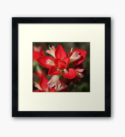 Indian Paintbrush Framed Print