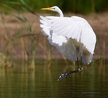The great Egret by houenying