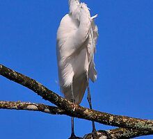 Great Egret standing post by AmyCK