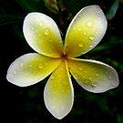Frangipani Sunshine by Vanessa Barklay