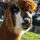 alpaca (Vicugna pacos) by Cheryl Ribeiro