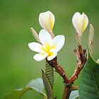 frangipani flower by meegs1
