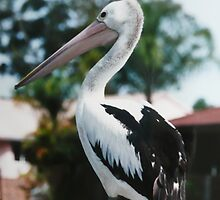 Pelican on Jetty Rails. by Mywildscapepics