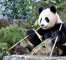Chop Sticks - Funi   - Adelaide Zoo's Female Panda by chijude